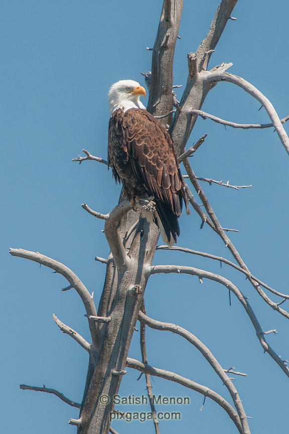 Bald Eagle, Yellowstone National Park, Wyoming, USA