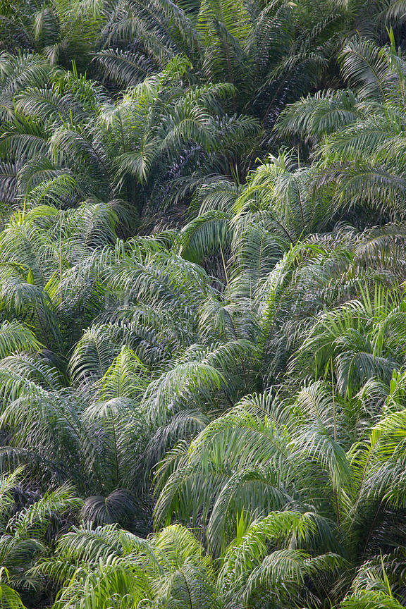 Palm oil (Elaeis sp) tree plantation, Osa Peninsula, Costa Rica.