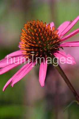 Close up of a flower (shade of pink)