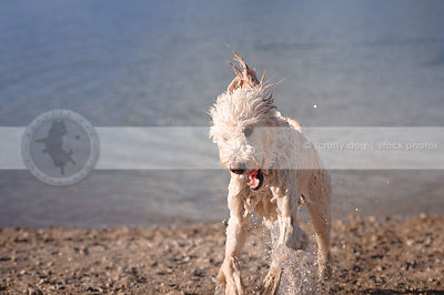shaggy wet cross breed dog fetching ball at lake with minimal background