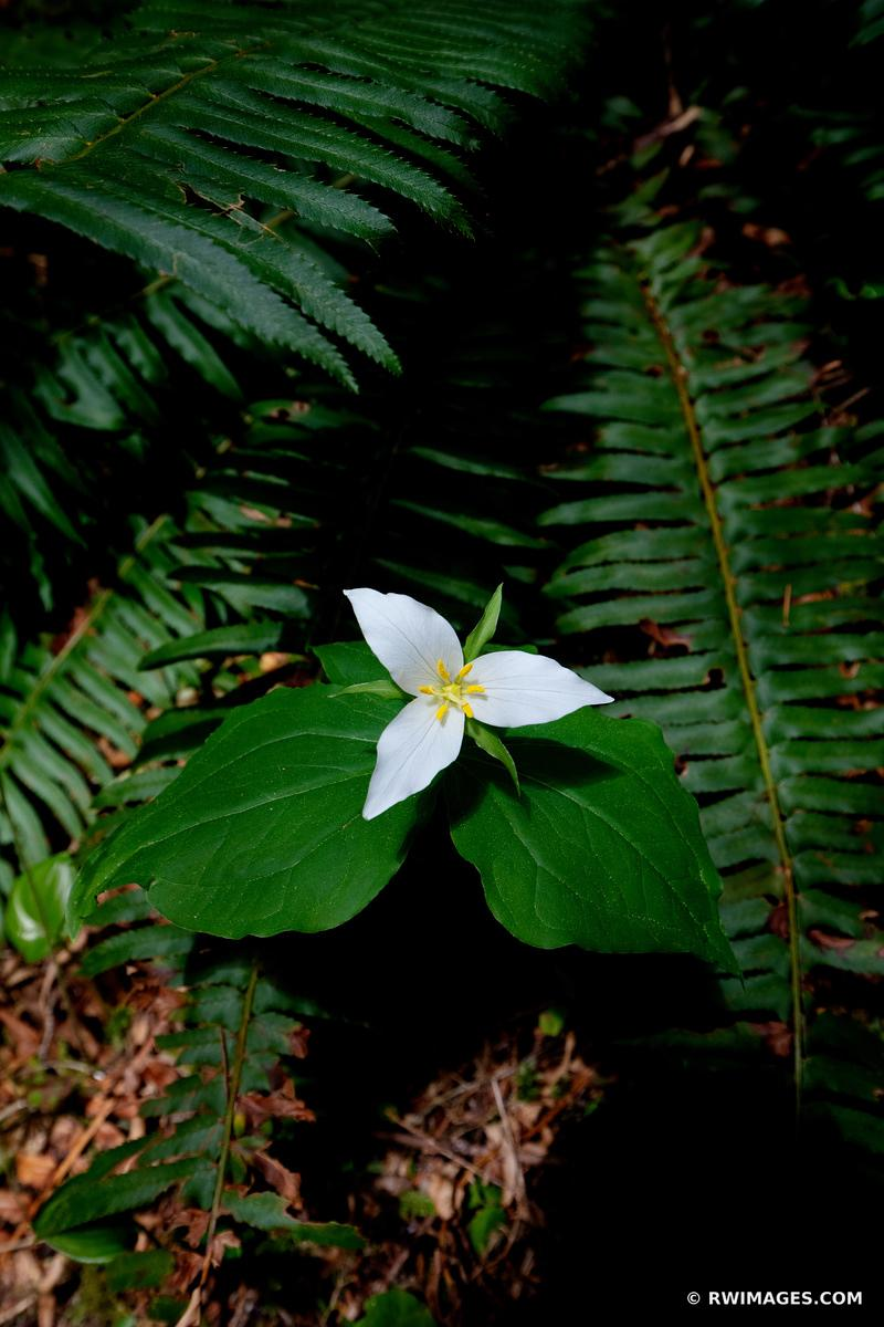 TRILLIUM WILDFLOWER PACIFIC NORTHWEST FOREST OLYMPIC NATIONAL PARK WASHINGTON