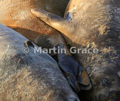 Southern Elephant Seals (Mirounga leonina) sleeping on the beach in early morning sunlight at Elephant Corner, Sea Lion Islan...