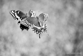 BUTTERFLIES BLACK AND WHITE
