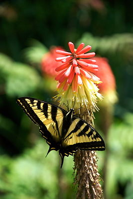 Butterfly on Red Hot Poker