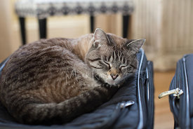 Tabby Cat Sleeping on Top of a Suitcase
