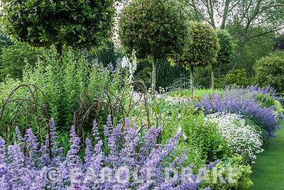 Herbaceous borders lining the croquet lawn feature standard holm oaks, Quercus ilex, underplanted with Campanula lactiflora '...