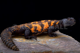 South Sahara spiny-tailed lizard (Uromastyx flavifasciata)