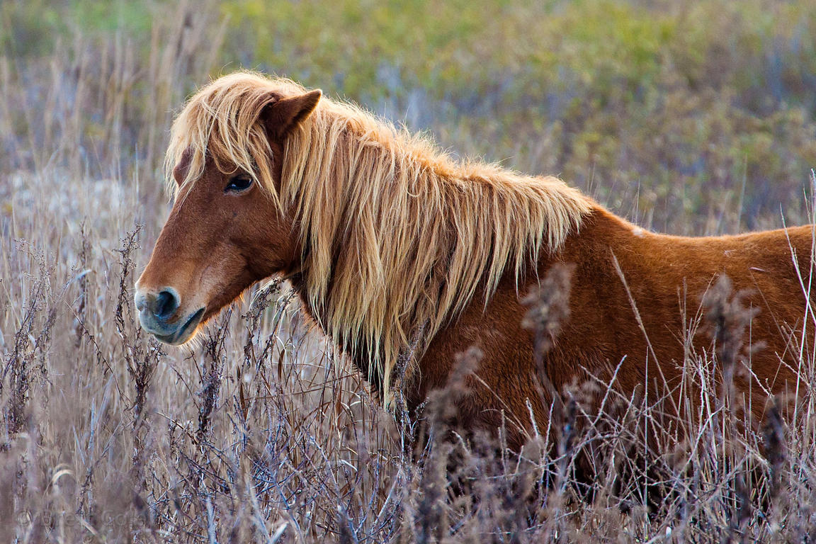 Closeup of a beautiful brown and tan wild horse (Equus ferus caballus) on sand dunes along the Atlantic Ocean, Assateague Isl...