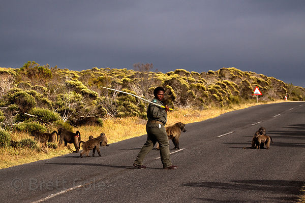 A baboon monitor employed by the Park Service herds the Buffels Bay troop away from an area where people are picnicing, Buffe...