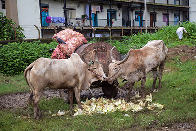 Cows eat discarded corn husks in a slum area in Mahim, Mumbai, India.