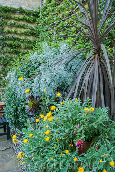 Lushly planted containers in the Fountain Garden include cordyline, Aeonium 'Zwartkop', yellow Xerochrysum bracteatum 'Dargan...