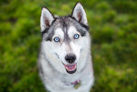 Close-up Portrait of Smiling Siberian Husky