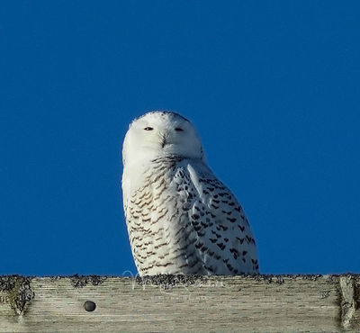 Snowy_Owl_crop_reduce_noise_sharp_0065