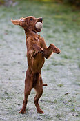 Young Irish Setter playing with ball