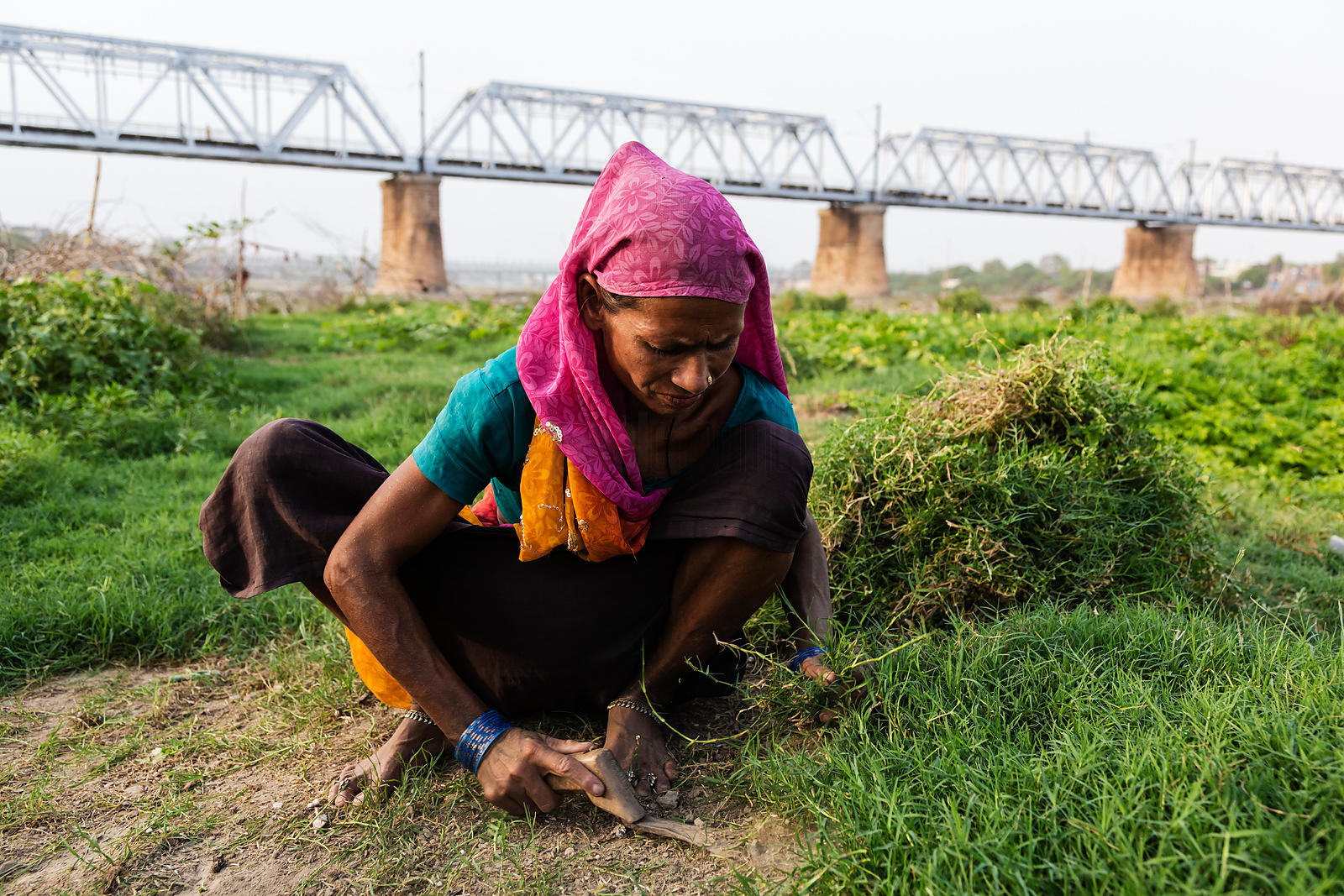 Woman Gathering Grass as Fodder for her Buffalo