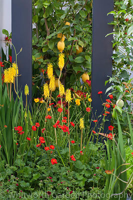 Hor border planting with citrus fruits in the 'Food 4 Thought' garden at the RHS Hampton Court Flower Show. © Rob Whitworth