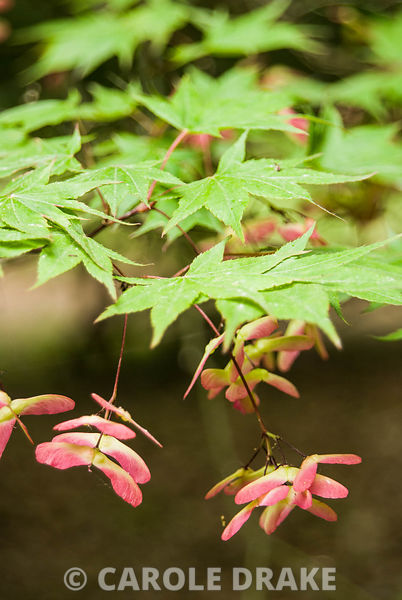 Fresh, pinky seedpods of Acer palmatum subsp matsumurae. Sir Harold Hillier Gardens/Hampshire County Council, Romsey, Hants, UK