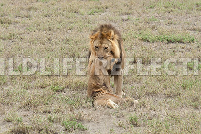 lion_carrying_dead_cub_9