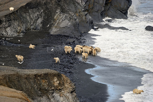 Polar bear (Ursus maritimus) group feeding on Walrus carcass, Wrangel Island, Far Eastern Russia, September.