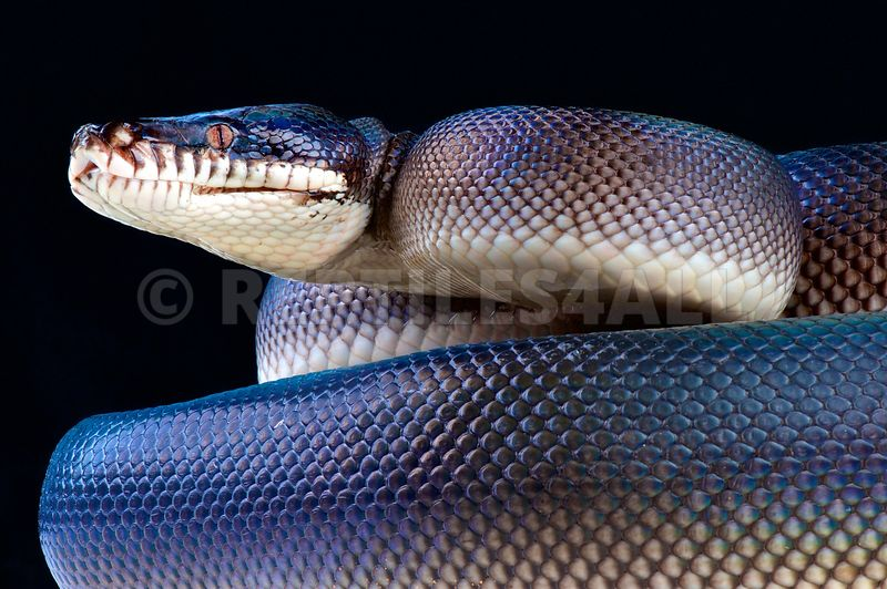 REPTILES4ALL   Southern white-lipped python (Bothrochilus hoserae)