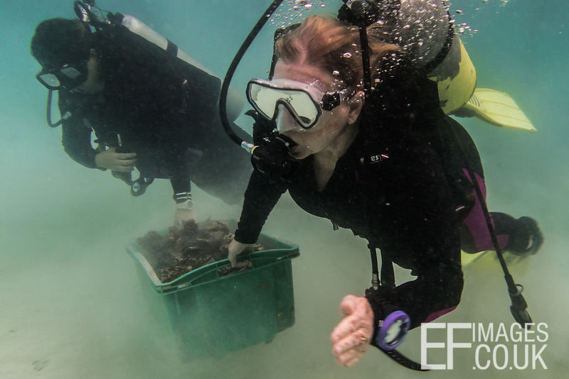 Kathy Oakley, wife of the late founder of TRACC, Professor Steve Oakley, carries a crate of coral fragments for replanting, w...