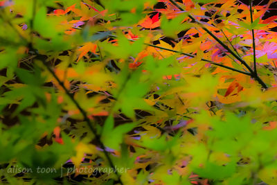 HR-JapaneseMaple-Fall-9839