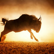 Blue wildebeest running full speed in the dust