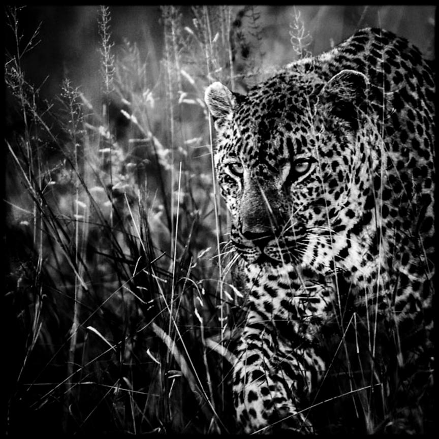 4407-Leopard_South_Africa_2008_Laurent_Baheux