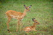 Impala with young (Aepyceros melampus), Lake Nakuru National Park, Kenya