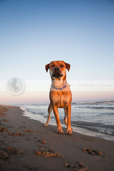 serious cross breed dog standing on lake shore beach at sunset