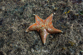 Leather Star at Point of Arches in Olympic National Park