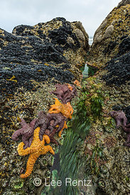 Ochre Stars and California Mussels at Point of Arches