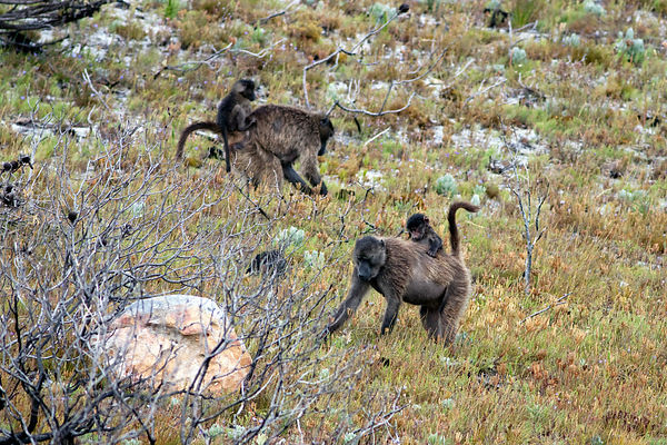 Chacma baboons from the Kanonkop troop foraging in fynbos, Smitswinkel Flats, Cape Peninsula, South Africa