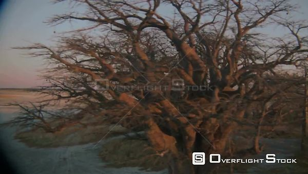 Aerial wide angle shot group of baobab trees with sun on horizon reflecting rays through trees on edge of salt pan with land ...