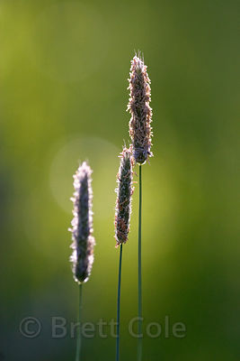Flowering grass (sp.), Willamette Valley, Oregon