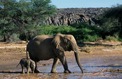 Desert elephant with young crossing the Huab river, Loxodonta africana, Damaraland, Namibia