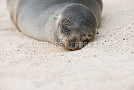 galapagos_sea_lion_santa_fe_sand_face-7