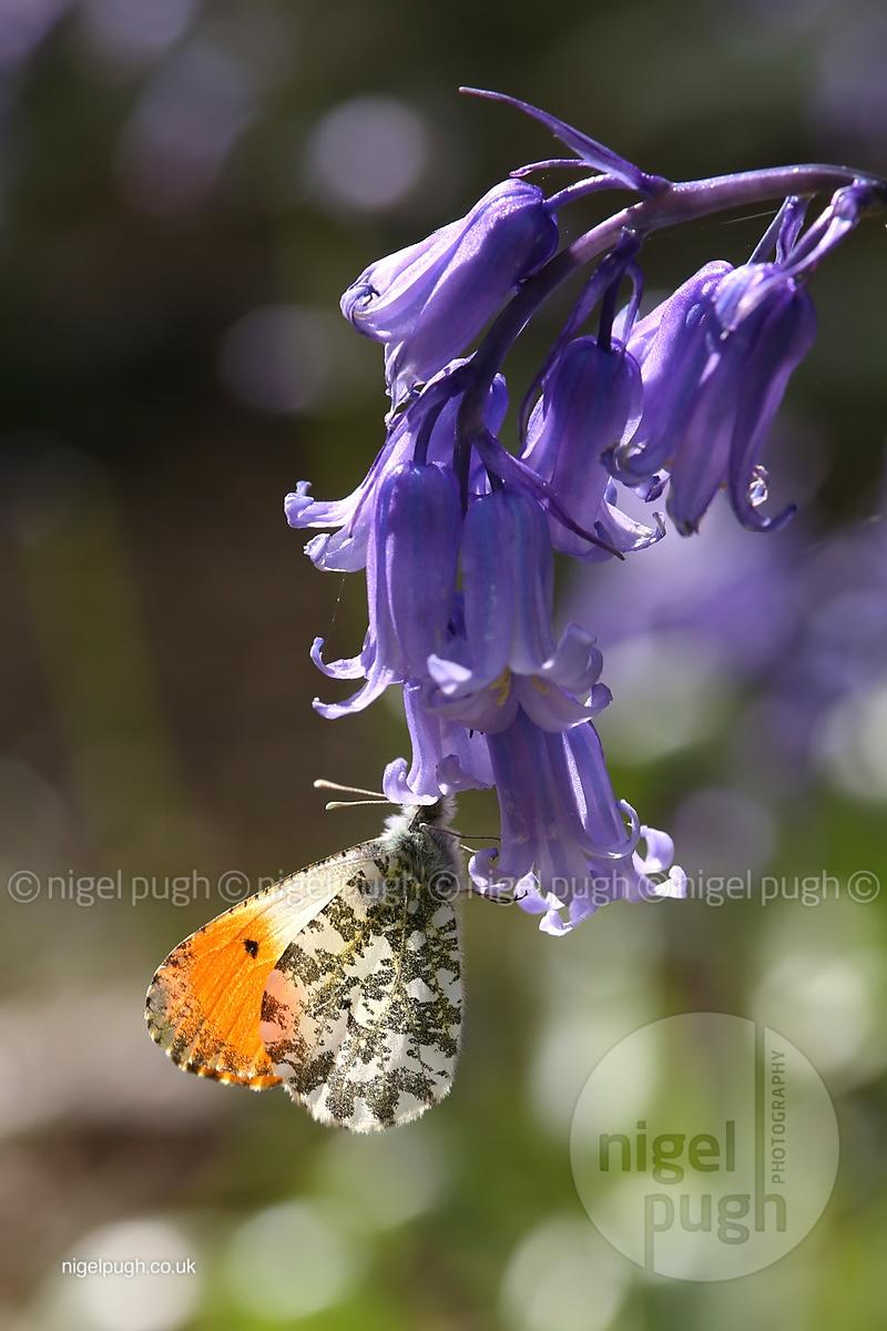 Male Orange tip butterfly: