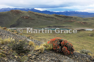 Patagonian Scarlet Gorse (also known as Guanaco Bush or Fire Tongue) (Anarthrophyllum desideratum), Torres del Paine National Park