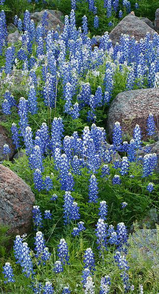 Bluebonnets and Rocks #2