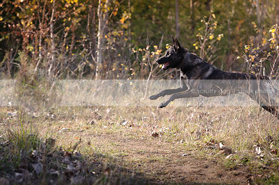 airborn brindle shepherd dog leaping in field