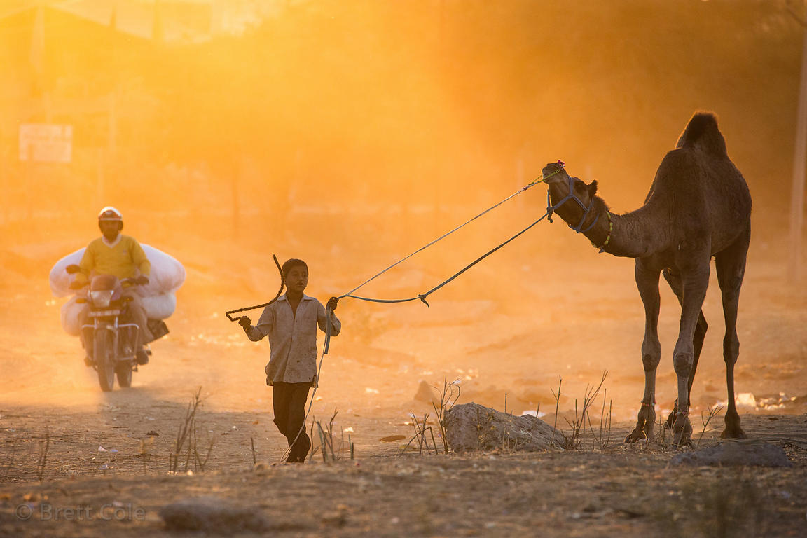 A boy walks his camel at sunset, Pushkar, Rajasthan, India