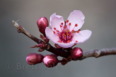 Flowers of a cherry tree (Prunus sp.) in Gaithersburg, Maryland