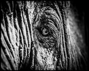 8961-Eye_of_an_old_elephant_Laurent_Baheux