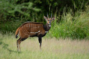 Intimidation display of a male bushbuck, Tragelaphus scriptus, Murchison Falls National Park, Uganda