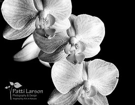 Orchid Trio (Black and White)