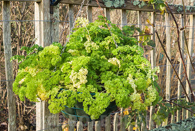 Parsley 'Envy' growing in a hanging basket. RHS Garden Rosemoor, Great Torrington, Devon, UK