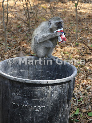 Vervet Monkey (Cercopithecus aethiops) licking out a scavenged yoghurt pot, Victoria Falls Rainforest Reserve, Zimbabwe