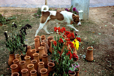 India - Delhi - A dog walks past flowerpots containing dead flowers
