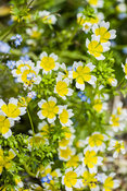 Limnanthes douglasii, the poached egg plant.